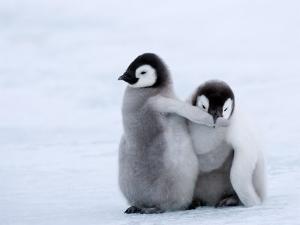 Emperor Penguin Chicks, Snow Hill Island, Weddell Sea, Antarctica, Polar Regions by Thorsten Milse