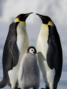 Emperor Penguins (Aptenodytes Forsteri) and Chick, Snow Hill Island, Weddell Sea, Antarctica by Thorsten Milse