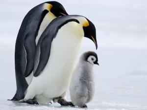 Emperor Penguins (Aptenodytes Forsteri) and Chick, Snow Hill Island, Weddell Sea, Antarctica by Thorsten Milse