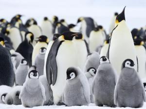 Emperor Penguins (Aptenodytes Forsteri) and Chicks, Snow Hill Island, Weddell Sea, Antarctica by Thorsten Milse