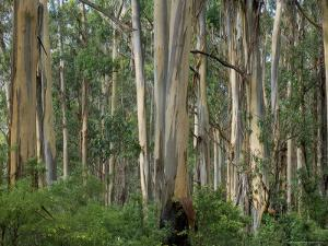 Eucalyptus Trees, Great Ocean Road, Victoria, Australia by Thorsten Milse