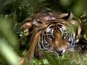 Female Indian Tiger at Samba Deer Kill, Bandhavgarh National Park, India by Thorsten Milse