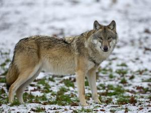 Gray Wolf (Grey Wolf), Canis Lupus, Wildlife Preserve, Rheinhardswald, Germany, Europe by Thorsten Milse