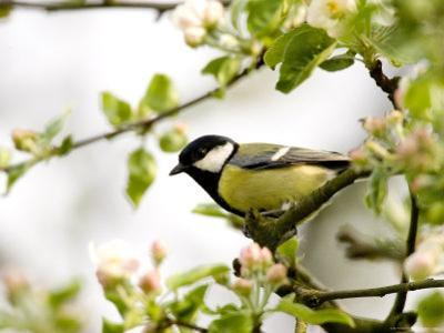 Great Tit (Parus Major) in Apple Tree, Bielefeld, Nordrhein Westfalen, Germany by Thorsten Milse