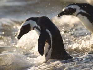 Jackass Penguin (African Penguin) (Spheniscus Demersus), Cape Town, South Africa, Africa by Thorsten Milse