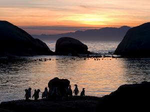 Jackass Penguins (African Penguins) (Speniscus Demersus), Boulder's Beach, Cape Town, South Africa by Thorsten Milse