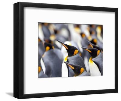 King Penguin Colony (Aptenodytes Patagonicus), Gold Harbour, South Georgia, Antarctic