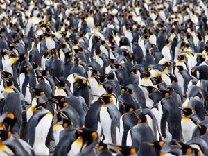 King Penguin Colony (Aptenodytes Patagonicus), Gold Harbour, South Georgia, Antarctic by Thorsten Milse