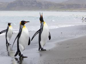 King Penguins (Aptenodytes Patagonicus), Salisbury Plain, South Georgia, Antarctic, Polar Regions by Thorsten Milse