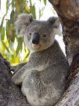 Kangaroo Island Kangaroo, (Macropus Fuliginosus), Flinders Chase N.P., South Australia, Australia-Thorsten Milse-Photographic Print