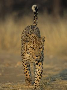 Leopard, Panthera Pardus, Duesternbrook Private Game Reserve, Windhoek, Namibia, Africa by Thorsten Milse