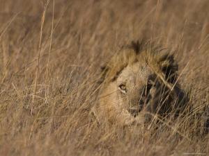 Lion, Panthera Leo, Moremi Wildlife Reserve, Botswana, Africa by Thorsten Milse