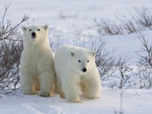Polar Bear Cubs (Ursus Maritimus), Churchill, Hudson Bay, Manitoba, Canada by Thorsten Milse