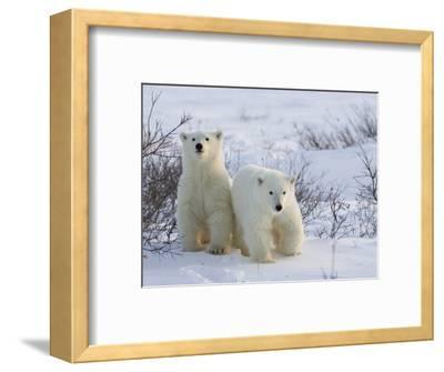 Polar Bear Cubs (Ursus Maritimus), Churchill, Hudson Bay, Manitoba, Canada