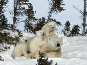 Polar Bear (Ursus Maritimus) Mother with Triplets, Wapusk National Park, Churchill, Manitoba by Thorsten Milse