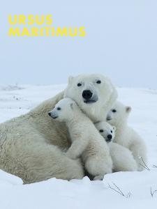Polar Bear (Ursus Maritimus) by Thorsten Milse