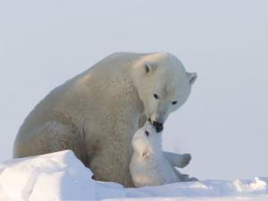 Polar Bear with a Cub, (Ursus Maritimus), Churchill, Manitoba, Canada by Thorsten Milse