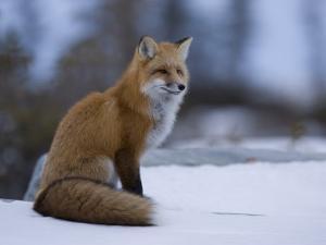 Red Fox, Vulpes Vulpes, Churchill, Manitoba, Canada, North America by Thorsten Milse