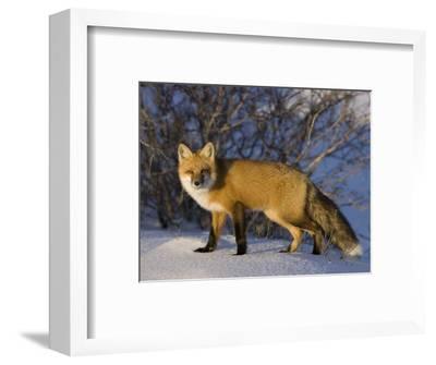 Redfox (Vulpes Vulpes), Churchill, Hudson Bay, Manitoba, Canada