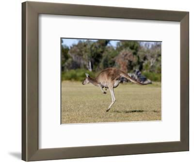 Western Gray Kangaroo (Macropus Fuliginosus) With Joey in Pouch, Yanchep National Park, Australia
