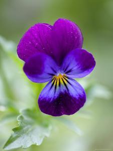 Wild Pansy, Viola Tricolor, Bielefeld, Germany by Thorsten Milse