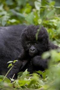 Young Mountain Gorilla (Gorilla Gorilla Beringei), Kongo, Rwanda, Africa by Thorsten Milse