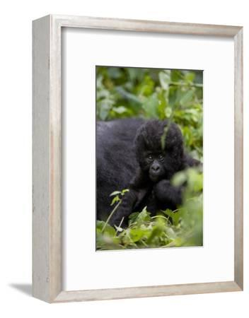 Young Mountain Gorilla (Gorilla Gorilla Beringei), Kongo, Rwanda, Africa