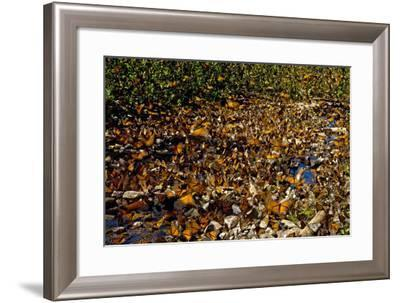 Thousands of Monarchs Drinking from a Stream in the Sierra Chincua Santuario Mariposa Monarca-Medford Taylor-Framed Photographic Print