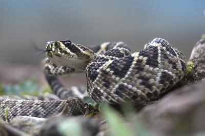 Threat Display of a Young Eastern Diamondback Rattlesnake, Costa Rica-Tim Fitzharris-Photographic Print