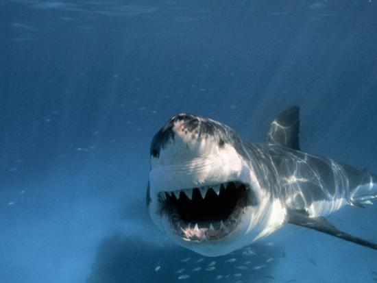 Threatened Great White Shark, Toothy Mouth Open, Approaches Camera-Paul Sutherland-Photographic Print