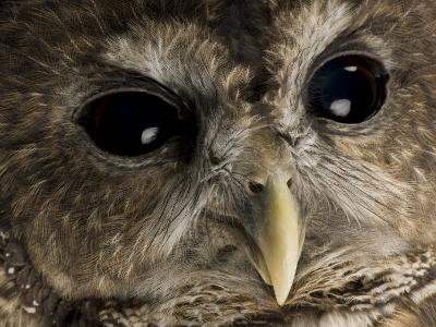 Threatened Northern Spotted Owl-Joel Sartore-Photographic Print