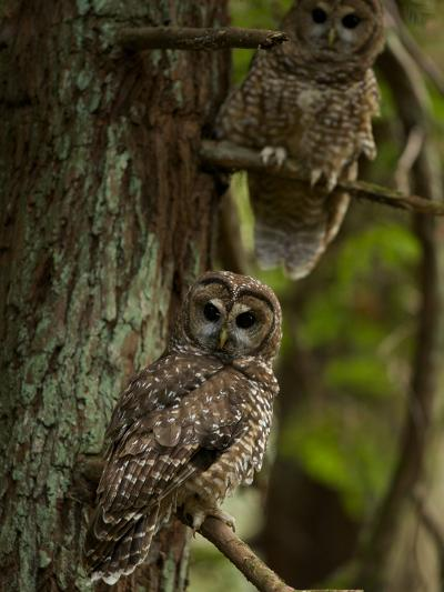 Threatened Northern Spotted Owls in a Redwood Forest-Michael Nichols-Photographic Print