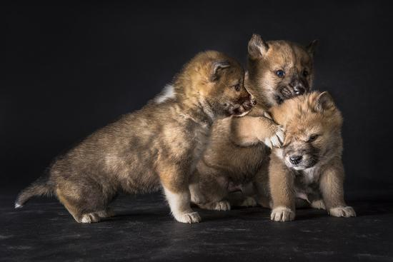 Three 6-Week-Old Dingo Puppies Wrestle Each Other at a Research Center-Doug Gimesy-Photographic Print