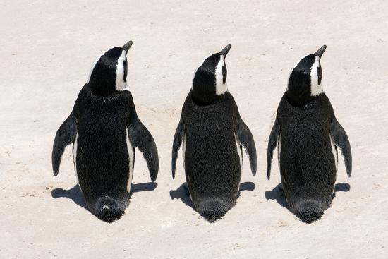 Three African Penguins-Catharina Lux-Photographic Print