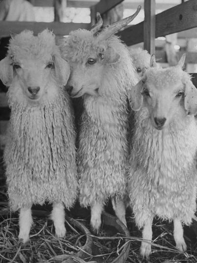 Three Angora Goats, Raised on Ranch for Their Fleece, Known Commercially as Mohair-Alfred Eisenstaedt-Photographic Print
