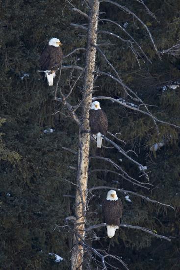 Three Bald Eagle (Haliaeetus Leucocephalus) in an Evergreen Tree-James Hager-Photographic Print