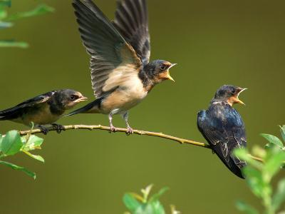 Three Barn Swallow Fledglings Begging for a Meal, Arlington, Massachusetts, USA-Darlyne A^ Murawski-Photographic Print