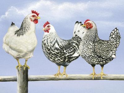 Three Black and White Hens-Janet Pidoux-Giclee Print