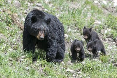 Three Black Bear Cubs, Ursus Americanus, Follow Closely Behind their Mother.-Barrett Hedges-Photographic Print