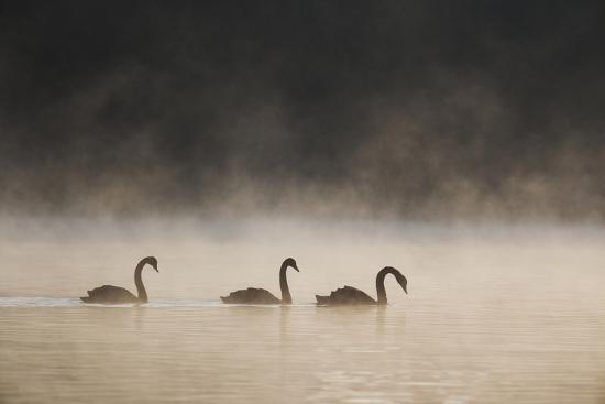Three Blacks Swans Glide over Ibirapeura Park Lake on a Misty Morning-Alex Saberi-Photographic Print