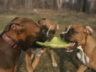 Three Boxer Dogs Play Tug-Of-War with a Frisbee-Roy Gumpel-Photographic Print