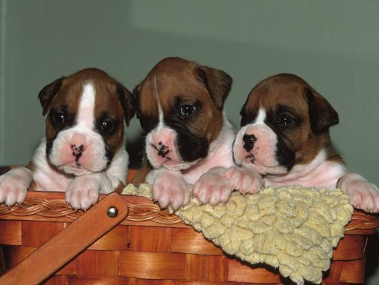 Three Boxer Puppies, USA-Lynn M^ Stone-Photographic Print