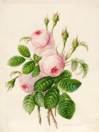 https://imgc.artprintimages.com/img/print/three-centifolia-roses-with-buds_u-l-puhc7c0.jpg?p=0