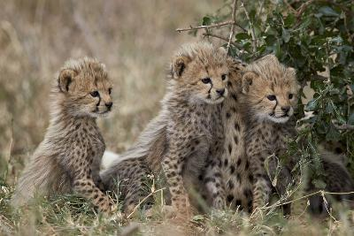 Three Cheetah (Acinonyx Jubatus) Cubs About a Month Old-James Hager-Photographic Print