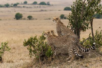 Three Cheetah Brothers, Acinonyx Jubatus, Surveying the Savanna-Sergio Pitamitz-Photographic Print