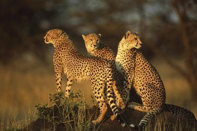 Three Cheetahs on Termite Mound-DLILLC-Photographic Print