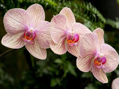 Three Colorful Moth Orchid Flowers, Phalaenopsis Species-Darlyne A^ Murawski-Photographic Print