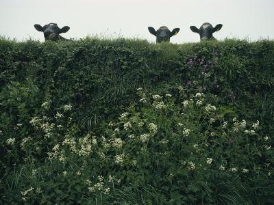 Three Cows Peer over a Hedge Garlanded with Wildflowers-Sam Abell-Photographic Print
