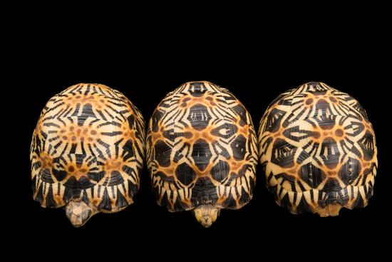 Three Critically Endangered, Yearling Radiated Tortoises, Astrochelys Radiata.-Joel Sartore-Photographic Print