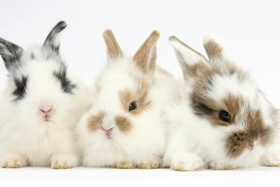 Three Cute Baby Bunnies Sitting Together-Mark Taylor-Photographic Print